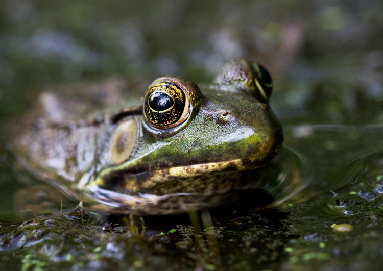 A female green frog. Researchers are finding more females than males in suburbia.