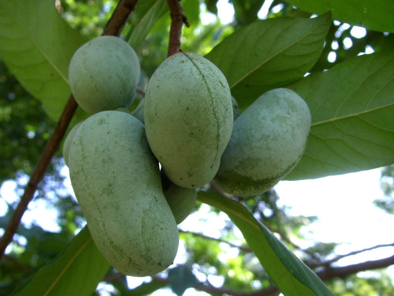 Cluster of pawpaw fruit