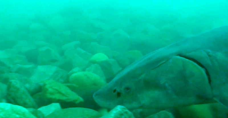 A sturgeon visits the Middle Channel Reef, a reef built in 2012 to create habitat for native fish.