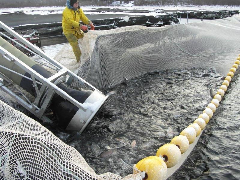 Harvesting fish from a fish farm in Lake Huron, on Ontario's Georgian Bay.