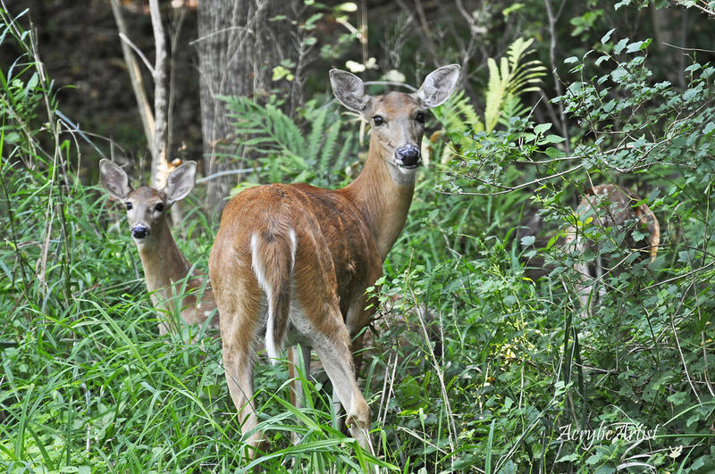 Ann Arbor plans its first-ever deer cull this year.