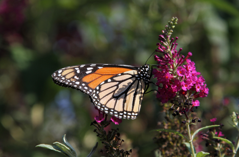 photo of a monarch butterfly