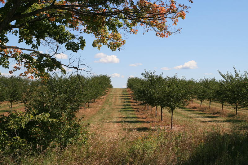 Rows of cherry trees in an Elk Lake orchard