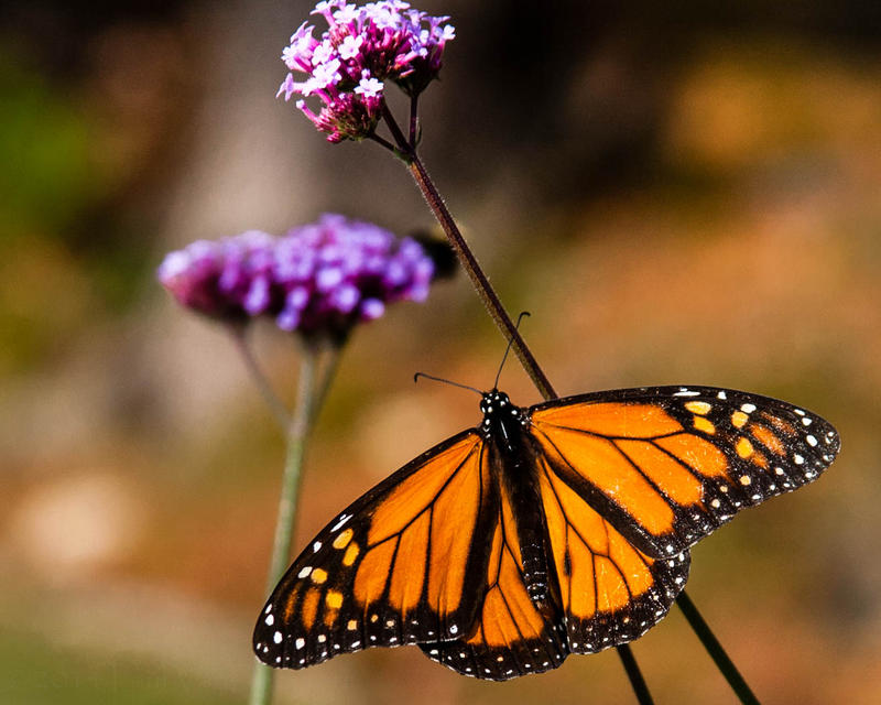 Studies show the Eastern Monarch Butterfly population has decreased by as much as 80% in the last decade.