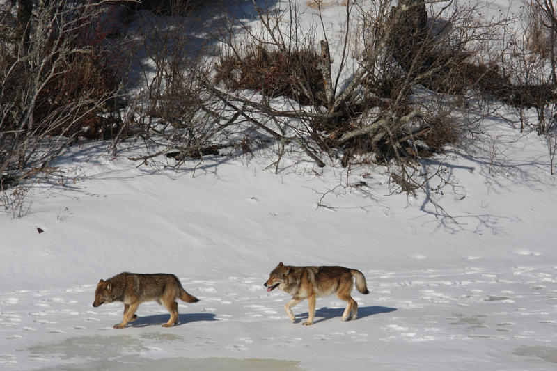 There are only two wolves left on Isle Royale. Should humans add wolves to the population?