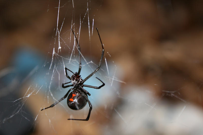 The black widow is one of two venomous species of spiders in Michigan