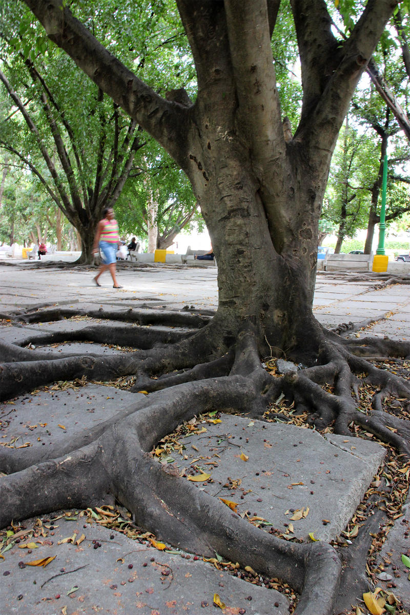 A ceiba tree spreads its roots.