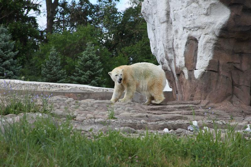 Tundra, the Detroit Zoo's newest polar bear, arrived this weekend from Indianapolis.