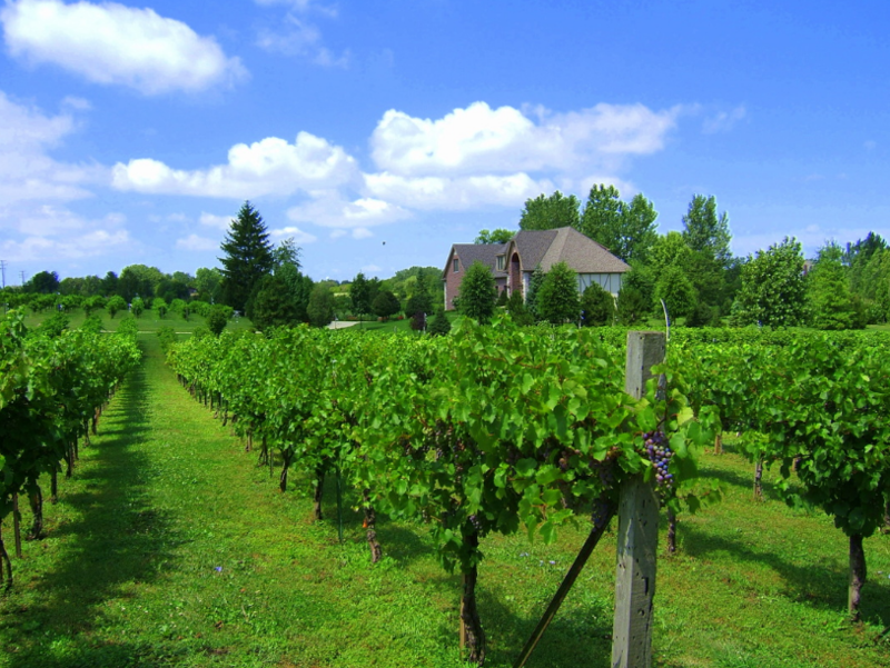 One of the home vineyards (not in Detroit) managed by Great Lakes Vineyards.