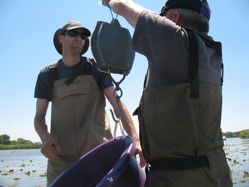 Notre Dame graduate student, Matt Cooper, and professor Gary Lamberti weighing a large snapping turtle