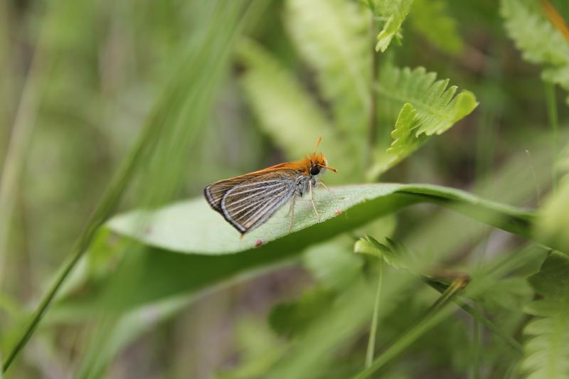 The Poweshiek skipperling is moving quickly toward extinction. Researchers are trying to reverse the species' current course.