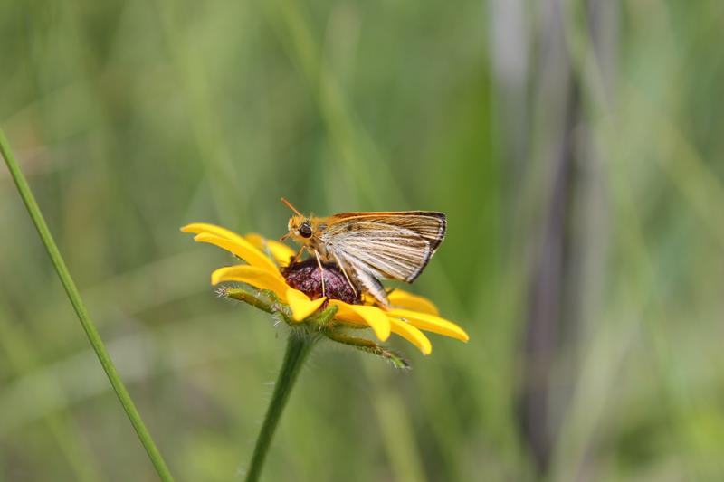 The Poweshiek skipperling at rest.