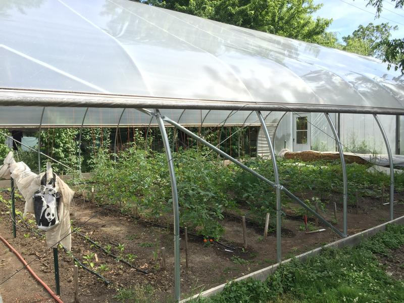 The farm's hoop house allows for nearly year-round harvesting, reaching temperatures upwards of 80 degrees in winter.