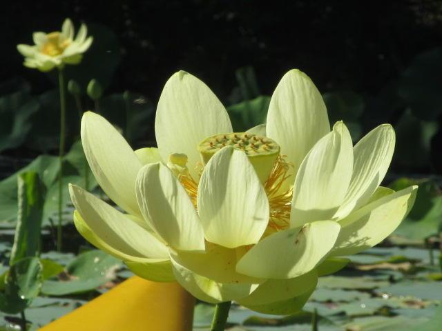 American lotus on Kent Lake.