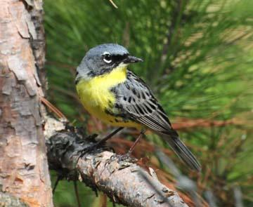 The Kirtland's warbler, an endangered bird in Michigan.