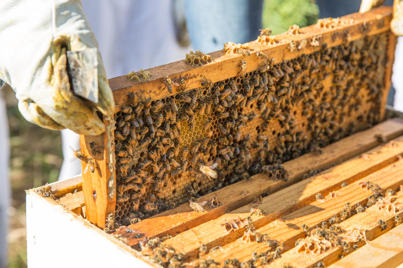 A researcher examines a hive.