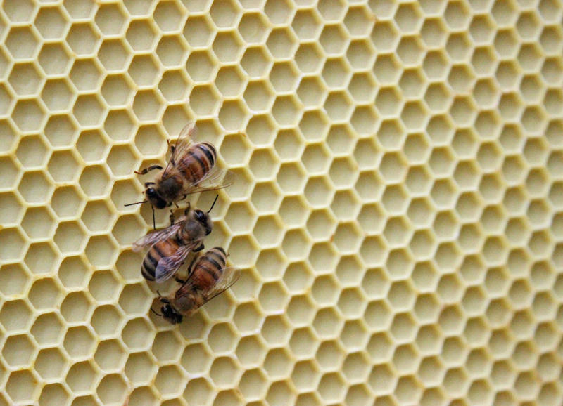 Honey bees in a GVSU hive.