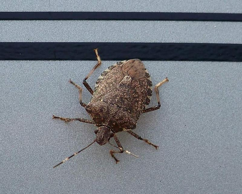 A brown marmorated stink bug is shown in Kalamazoo, Mich.
