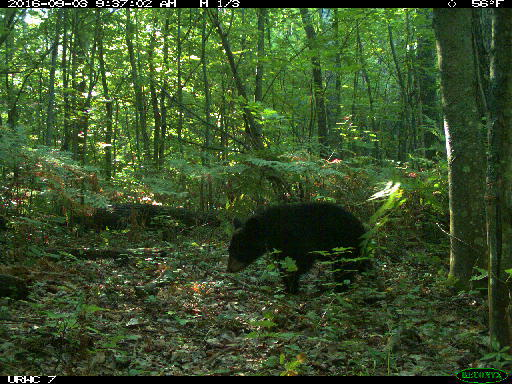 Camera-trap photo of a black bear cub at the U-M Biological Station.