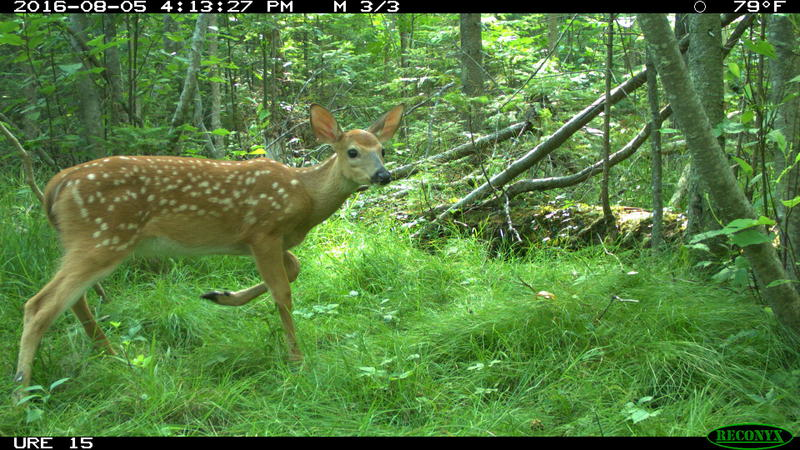Camera-trap photo of a white-tailed deer fawn at the U-M Biological Station.