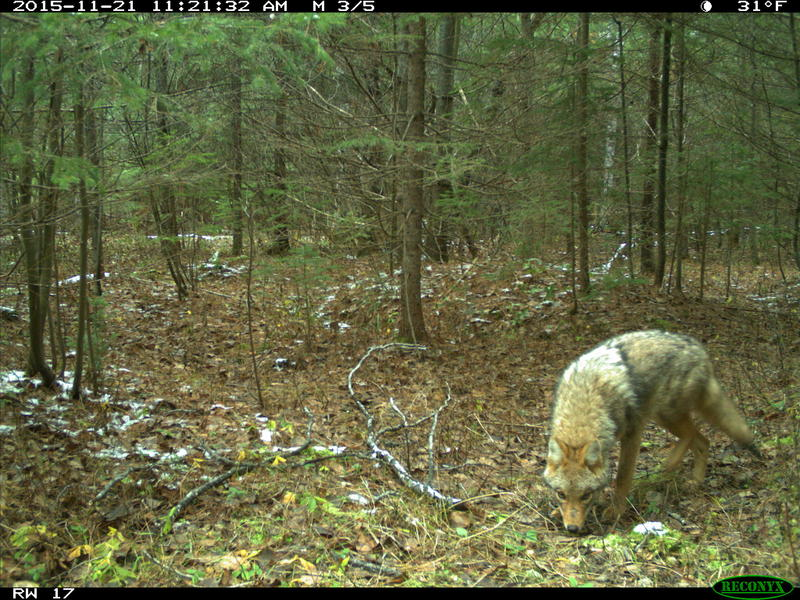 Camera-trap photo of a coyote at the U-M Biological Station.