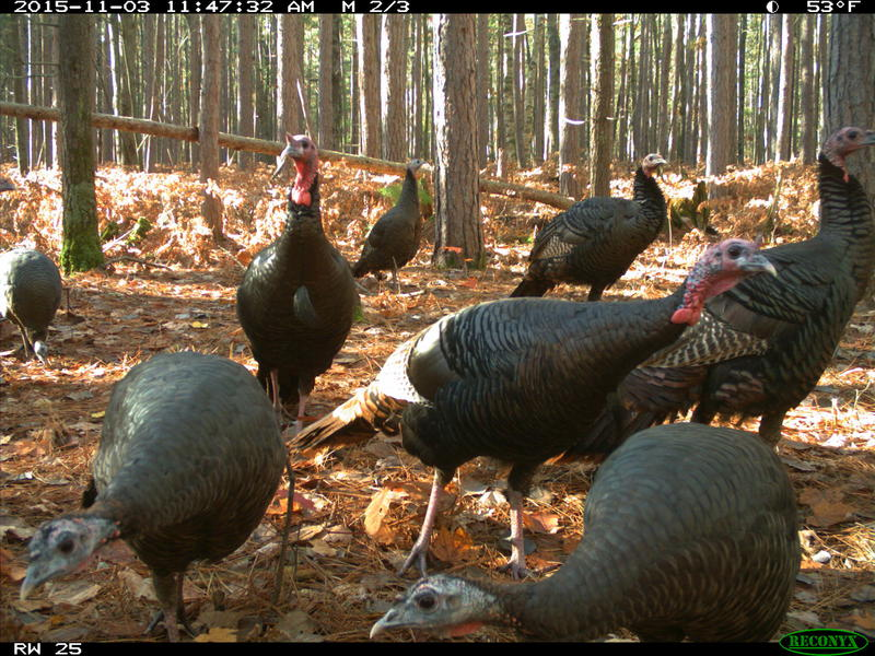 Camera-trap photo of wild turkeys at the U-M Biological Station.
