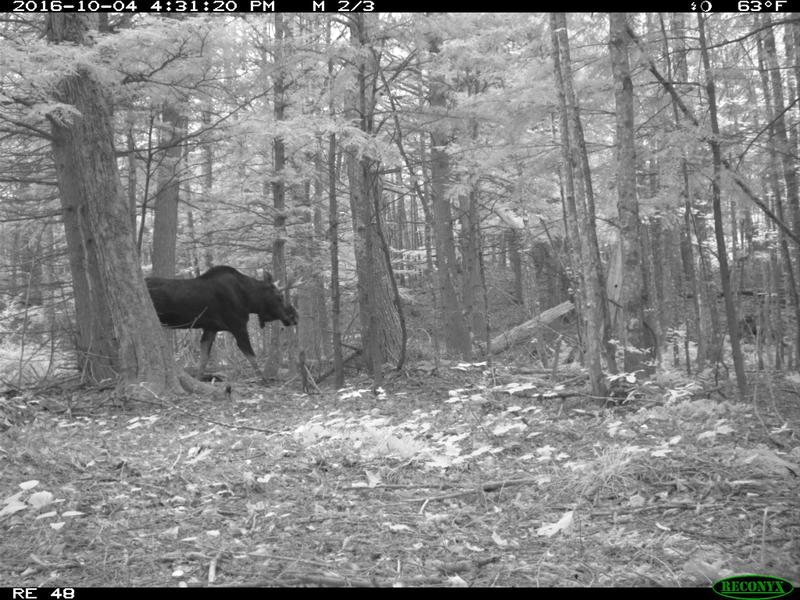 Camera-trap photo of a moose at the Huron Mountain Club in the Upper Peninsula.
