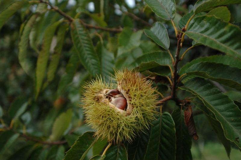 Chestnut tree.