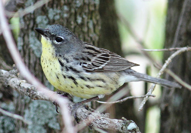 The rare Kirtland's Warbler is native to Michigan and has faced frequent exintiction threats over the past 50 years.