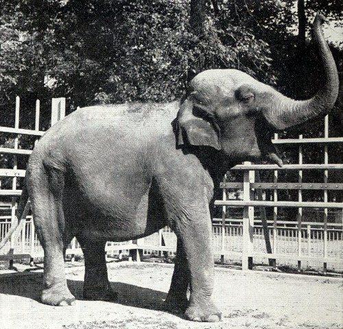 Sheba the Elephant at the Belle Isle Zoo during the 1940s