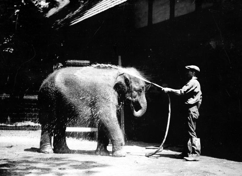 Sheba the Elephant taking a bath at the Belle Isle Zoo (undated)