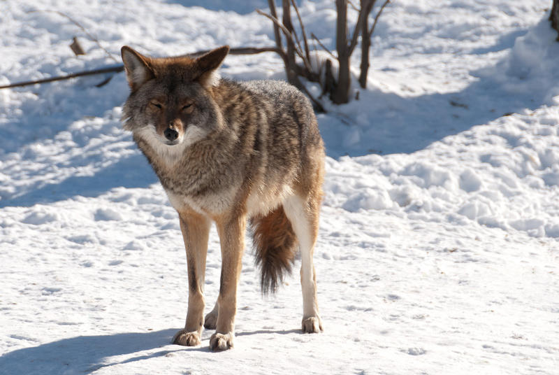 One business in Mid-Michigan has turned coyote control into a contest in order to help limit the population.