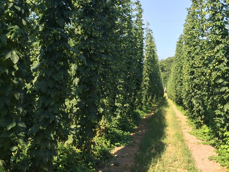 Thanks to the rise in popularity of craft beer in Michigan, the state now ranks fourth in the nation in hops production.