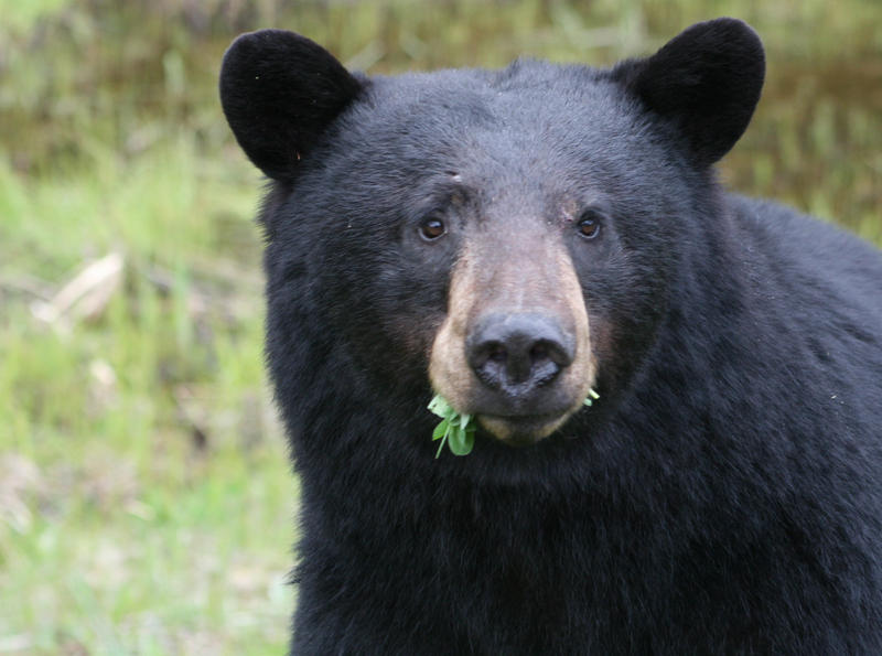 About 2,000 black bears live in the northern Lower Peninsula. Another 10,000 live in the U.P.