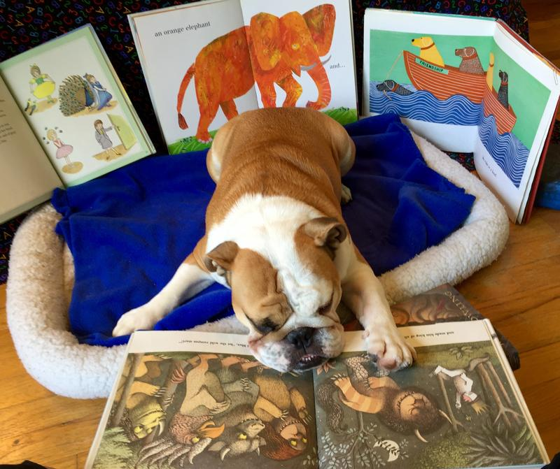 Otis, an English Bulldog, is the library dog at the Ypsilanti District Library, reading a book in his dog bed.