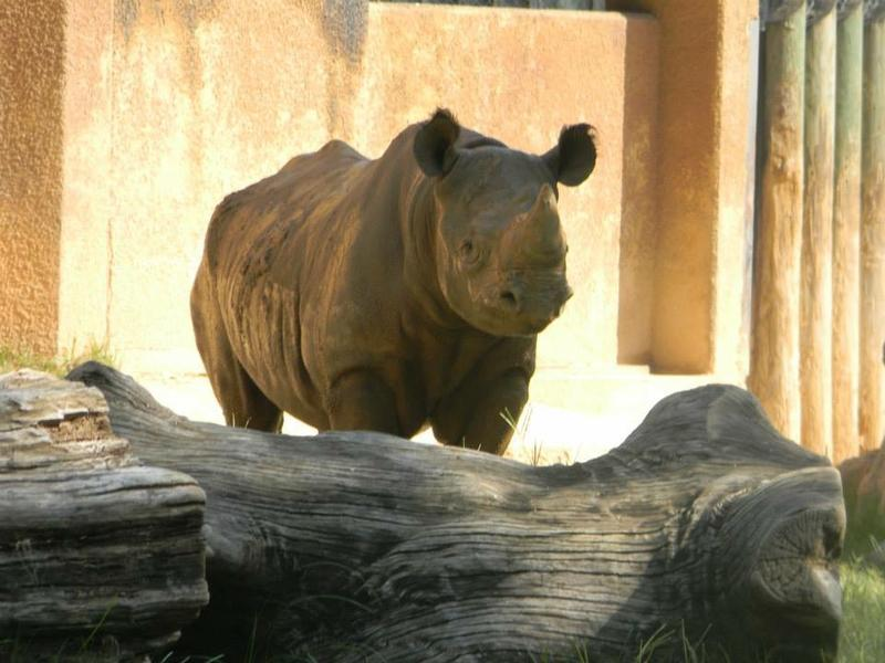 Phineas, a 9-year old eastern black rhino