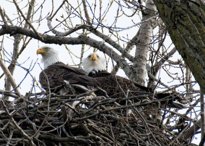 The Flint River is home to numerous wildlife, including eagles