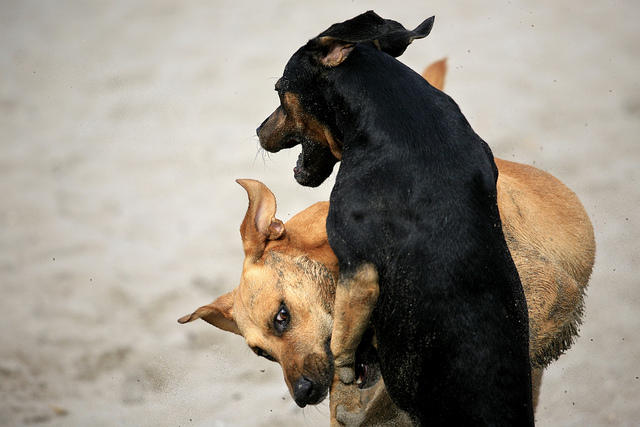 Two dogs fighting (or playing, it's hard to tell)