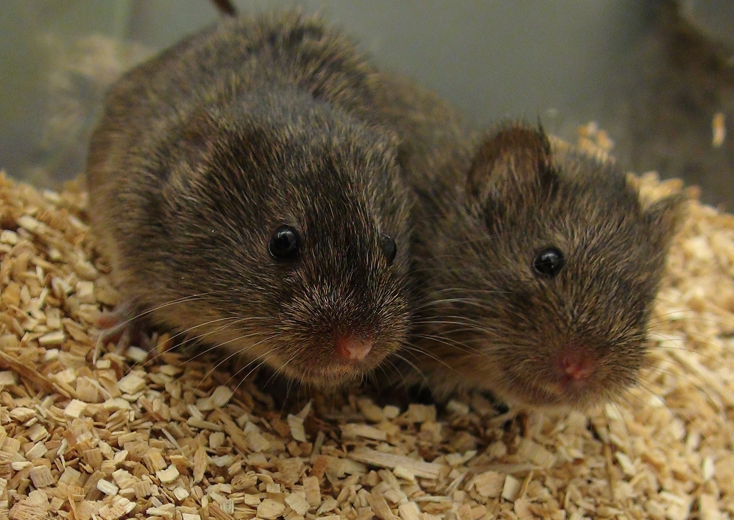 A prairie vole forms monogamous relationships with its mating partner.