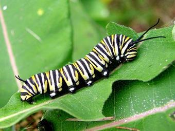 Monarch larvae depend on milkweed plants for food.