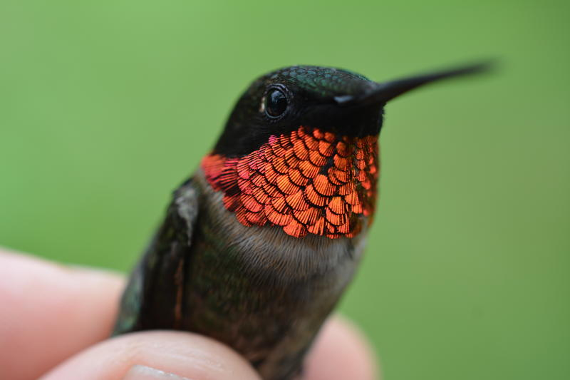 Ruby-throated hummingbirds are breeding earlier and more quickly, but having fewer young than they had 50 years ago.