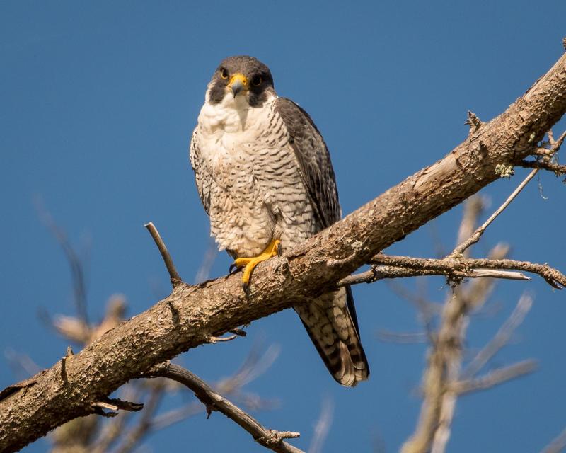 a peregrine falcon on a branch