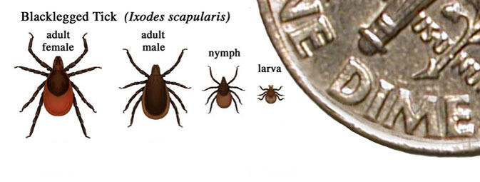 Life stages of the blacklegged tick.