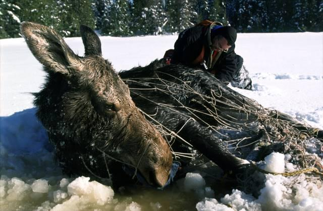 A netted moose.