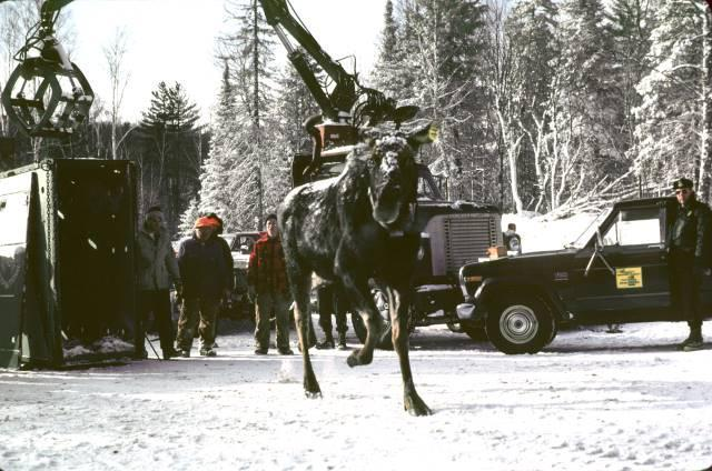 a moose being released