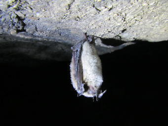 A little brown bat (Myotis lucifugus) with white-nose syndrome hibernating in a Virginia cave during late spring of 2016.