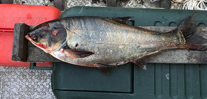 A silver carp laying on top of a cooler.
