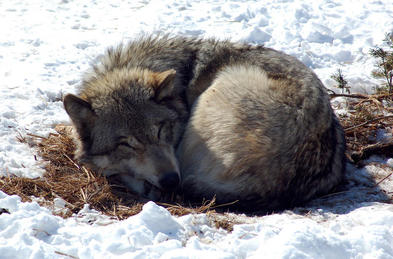 a sleeping grey wolf