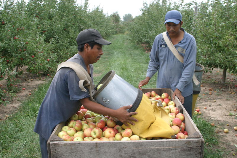 two workers picking apples in an orchard