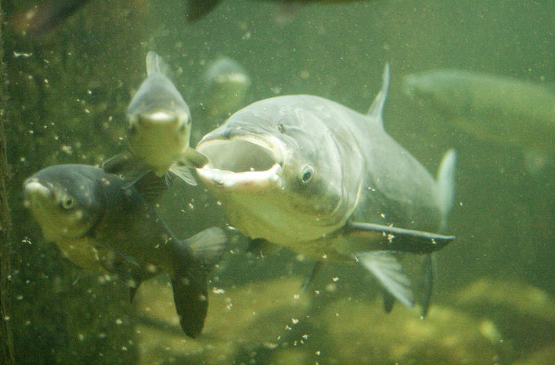 image of Asian carp at the Shedd Aquarium